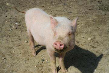 【日払OK】養豚場での豚のお世話業務