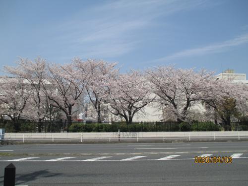 春、満開の桜間並木(奏向かいの風景)
